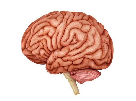 Anatomy of human brain.